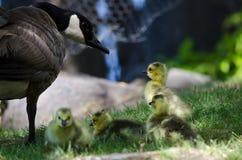 Neugeborene Gänschen, die nah an Mutter bleiben Stockfotografie