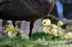 Neugeborene Gänschen, die nah an Mutter bleiben Lizenzfreie Stockfotos