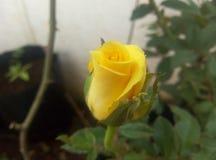 Neugeborene gelbe Rose Lizenzfreies Stockbild