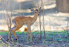 Neugeborene Impala, die zwischen trockenen Zweigen in Süd-Nationalpark Luangwa, Sambia, südlicher Afrika steht Stockfoto
