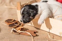 Neugeborene Jack Russell-puppys mit Santa Claus-Hut lizenzfreies stockfoto