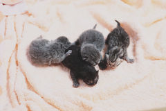 Neugeborene Kätzchen, erster Tag des Lebens Lizenzfreies Stockbild