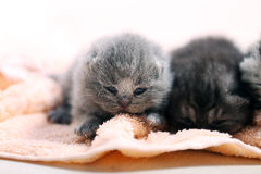 Neugeborene Kätzchen, erster Tag des Lebens Stockfotografie