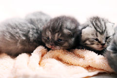 Neugeborene Kätzchen, erster Tag des Lebens Lizenzfreies Stockfoto