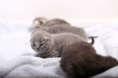 Neugeborene Kätzchen, erster Tag des Lebens Stockfoto