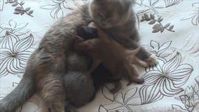 Neugeborene Kätzchenzufuhren und -wäschen, die Katze sich interessieren stock video