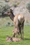 Neugeborene Kugel des Kitzes gerade mit der Nachgeburt von der Mutter Stockbild
