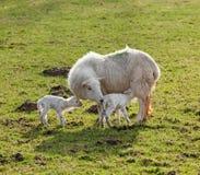 Neugeborene Lammzwillinge mit Mutter Stockfotografie