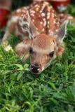 Neugeborene Rotwild Lizenzfreies Stockfoto