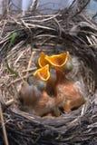 Neugeborene Schätzchenvögel im Nest stockfotos