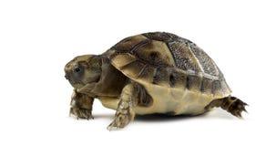 Neugeborene Schildkröte, lokalisiert lizenzfreies stockfoto
