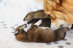 Neugeborene Waliser-Corgi Pembrokewelpen mit ihrem Mutterhund, der um ihnen und Lecken sich kümmert stockfoto