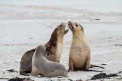 Neugeborener australischer Seelöwe auf Hintergrund des sandigen Strandes Stockfotografie