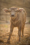 Neugeborener Büffel Stockfoto