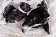 Neugeborener basenji Welpe mit Mutter lizenzfreie stockfotografie