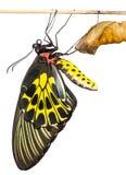 Neugeborener gemeiner Birdwing-Schmetterling tauchen vom Kokon auf lizenzfreie stockfotografie
