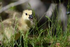 Neugeborener Gosling, der die faszinierende neue Welt erforscht lizenzfreies stockfoto