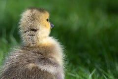 Neugeborener Gosling, der die faszinierende neue Welt erforscht lizenzfreie stockfotos