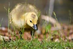 Neugeborener Gosling, der lernt, nach Nahrung zu suchen stockfotografie