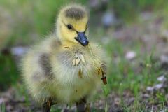 Neugeborener Gosling, der lernt, nach Nahrung zu suchen stockfoto