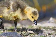Neugeborener Gosling, der lernt, nach Nahrung zu suchen lizenzfreie stockfotos