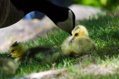 Neugeborener Gosling, der nah an Mutter bleibt Lizenzfreies Stockbild
