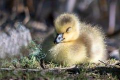 Neugeborener Gosling, der ruhig aus den weichen Grund schläft stockbild