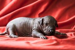 Neugeborener Hundliegt mexikanisches xoloitzcuintle puppie, eine Woche alt, auf einem roten Hintergrund stockfotos