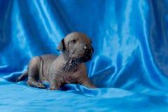 Neugeborener Hundsitzt mexikanische xoloitzcuintle Welpen, eine Woche alt, auf einem blauen Hintergrund Ein Platz für das Schreib lizenzfreie stockfotografie