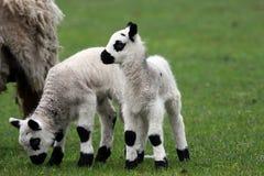 Neugeborener Lammzwilling Stockbild