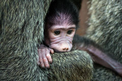 Neugeborener olivgrüner Pavian Stockfoto