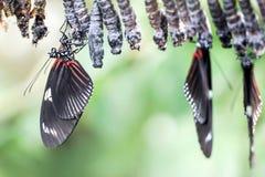 Neugeborener Schmetterling mit Puppen stockbilder