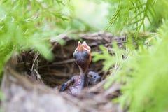 Neugeborener Vogel Stockfoto