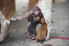 Neugeborener Welpenhund, der mütterliche Milch saugt Stockfotos