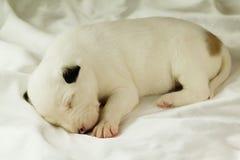 Neugeborener Welpenschlaf Lizenzfreie Stockfotografie