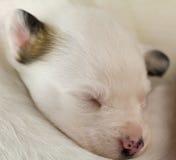 Neugeborener Welpenschlaf Stockbild