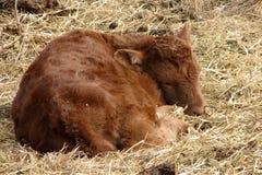 Neugeborenes Färse-Kalb (rückseitige Ansicht) Stockfotografie
