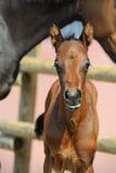 Neugeborenes Fohlen der schönen Bucht Porträt Stockfotos
