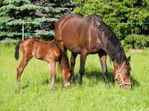 Neugeborenes Fohlen und Stute Stockfotografie