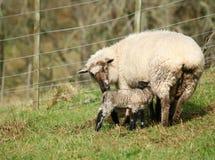 Neugeborenes Frühlingslamm mit Mutter Stockbild