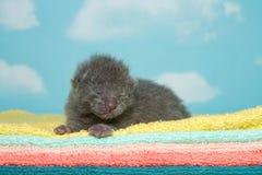 Neugeborenes graues Kätzchen auf flaumigen Tüchern Lizenzfreies Stockfoto