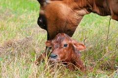 Neugeborenes Jersey-Kalb Stockbilder