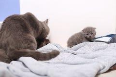 Neugeborenes Kätzchen des Britisch Kurzhaars, erster Tag des Lebens Lizenzfreie Stockbilder