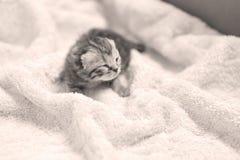 Neugeborenes Kätzchen des Britisch Kurzhaars, erster Tag des Lebens Stockbild