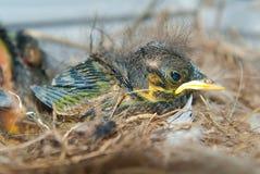 Neugeborenes Küken im Nest Stockfotos