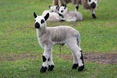 Neugeborenes Kerryhügellamm Stockfotografie