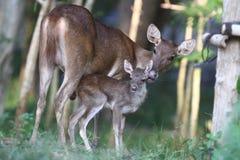 Neugeborenes Kitz und Damhirschkuh Stockbild