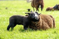 Neugeborenes Lamm mit Mutter Stockbilder