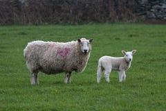 Neugeborenes Lamm und Mutterschaf Stockbilder