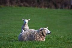 Neugeborenes Lamm und Mutterschaf Lizenzfreies Stockfoto